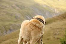 Aggressive Anatolian Shepherd Dog - Sivas Kangal