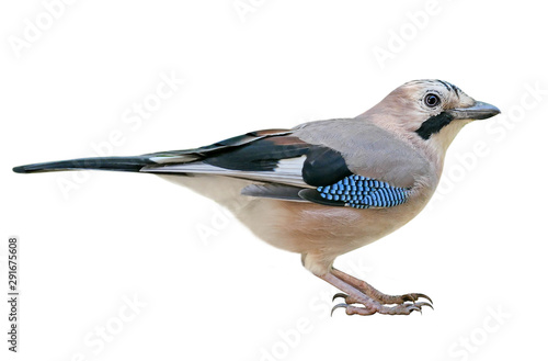 Eurasian Jay (Garrulus glandarius), isolated on White Background Fototapet