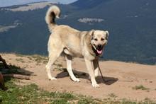 Aggressive Anatolian Shepherd Dog - Sivas Kangal.