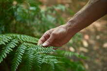 Man Touches A Large Fern Leaf