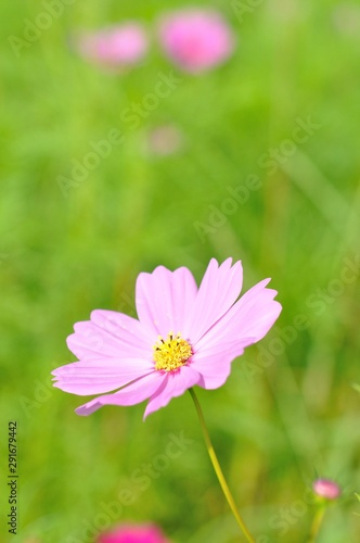 Poster Nature cosmos flower
