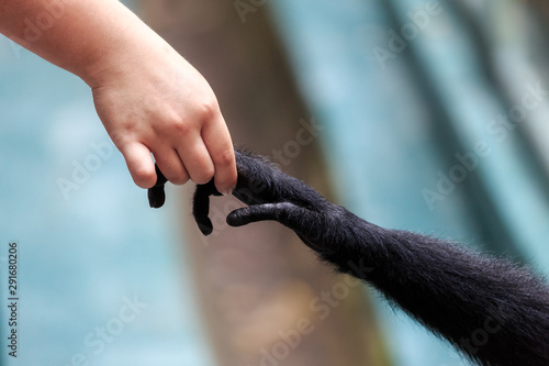 Photo Beautiful close up of the interaction with hands of a human with a Siamang (Symp