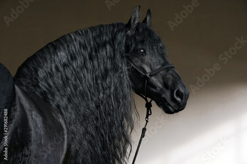 Fototapety, obrazy: Friesian horse portrait in a dark stable with long hair lighting