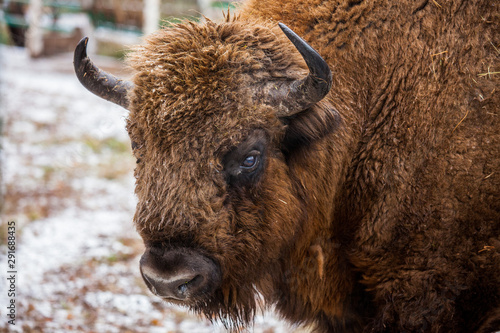 Valokuva  Portrait of Large brown wisent or european brown bison with big horn and brown eyes in the winter forest