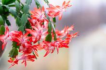 Blooming Houseplant Christmas ...