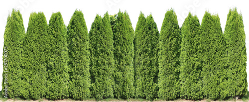 Fotografie, Obraz  Ideal long and high green fence from evergreen coniferous trees near rural house