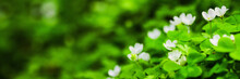 Snowdrop Flowers Panorama. Spring Blooming Grss Background. Nature Backdrop. Blooming Spring Flower In Forest. Blossom Snowdrop In Garden. Beautiful Grass. Panoramic Crop. Green Leaf