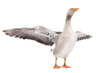 Goose Stands With Wings Spread...