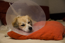 Little Dog Lies In Bad Wearing Collar Neck After Operation