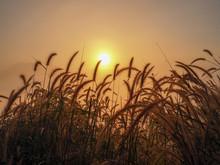 The Grass Wavered By The Wind. The Sun Rises Amid A White Mist At Phu Thok, Chiang Khan, Loei, Thailand.