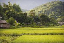 Landscape Mai Chau With Rice Field