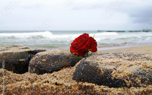 Funeral flower, lonely red rose flower at the beach, water background with copy space, burial at see. Empty place for a text. Funeral symbol and Condolence card concept