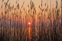 Shoreline Reeds In Sunrise Sil...
