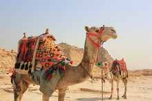 Camels In Desert For Tourist R...