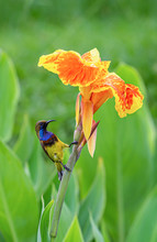 Olive-backed Sunbird On The Or...