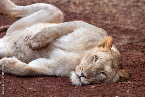 Fototapety, obrazy: lions mating in kruger park south africa