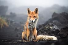 Wild Red Fox (Vulpes Vulpes Be...