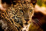 The portrait of Javan leopard