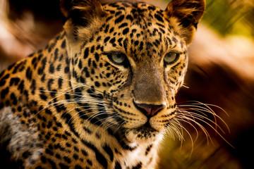 FototapetaThe portrait of Javan leopard