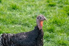 Female Turkey Standing In A Fi...
