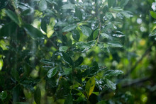 Close Up Of Fresh Green Leaves With Rain Water Drops