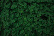 Green leaves texture top view background. Full frame of tropical dark green leaf tone.