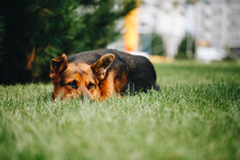 Dog Lying Down In The Grass.