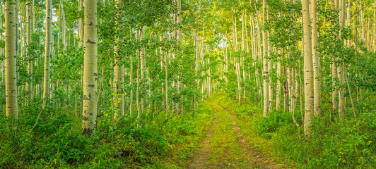 Panel Szklany Brzoza Green aspen glade panorama in the Wasatch Mountains, Utah, USA.