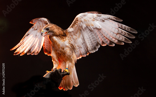 Birds of Prey - Red Tailed Buzzard / Hawk Canvas Print