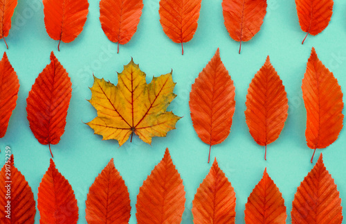 Fotografía  autumn leaves on a blue background, one leaf is different from the others - abst