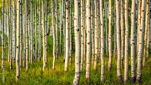 Fond de hotte en verre imprimé Bosquet de bouleaux Fall scene with aspens in the Wasatch Back, Utah, USA.