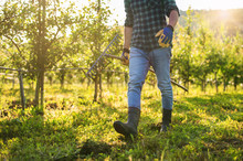 A Midsection Of Mature Farmer Walking Outdoors In Orchard. Copy Space.