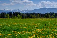 Dandelions Blooming In Summer ...