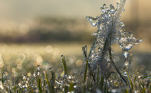 Spikes Of Pennisetum In Hoarfrost And Ice. Close-up