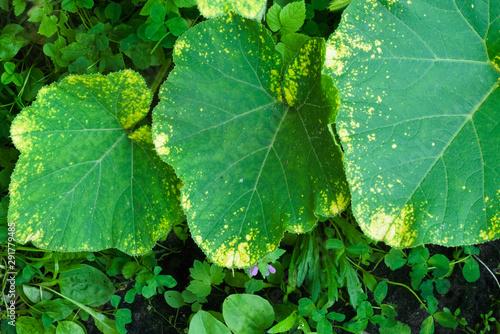 Fototapeta Downy mildew (Peronosporosis) on a pumpkin leaf in the garden
