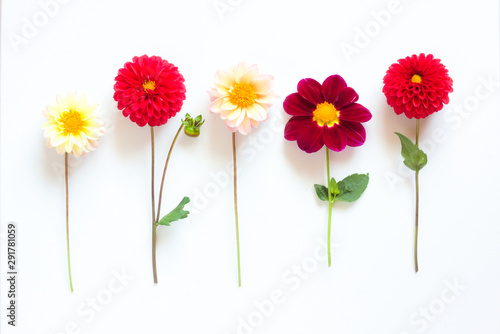 Poster de jardin Dahlia Several multi-colored dahlia flowers on a white background. Beautiful floral background