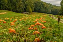 Pumpkins Growing In A Pumpkin ...