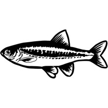 Hand Sketched Minnow Fish Vector