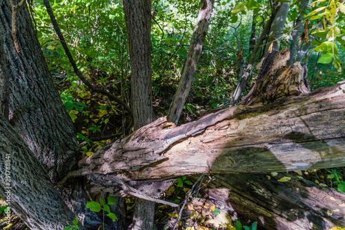 Spoed Fotobehang Onweer Broken tree trunk decays lying on healthy trees