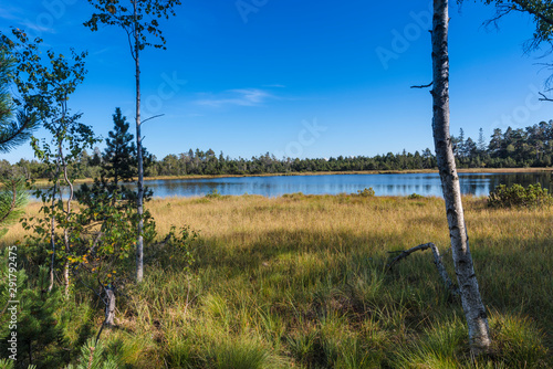 Cuadros en Lienzo Raised bog of the Wildsee at Kaltenbronn, Northern Black Forest, Germany, with birch trees and small pines, territory Bad Wildbad and Gernsbach