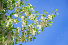 Poplar Down On Poplar During Flowering In Spring.