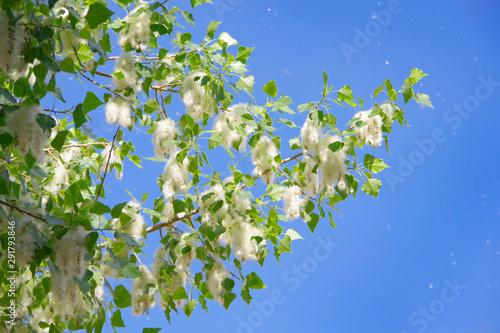 Fototapeta Poplar down on poplar during flowering in spring.