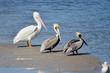 Leinwandbild Motiv Three Pelicans