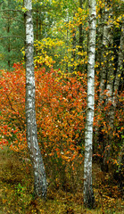 Fototapeta Brzoza Birch forest in golden autumn season.