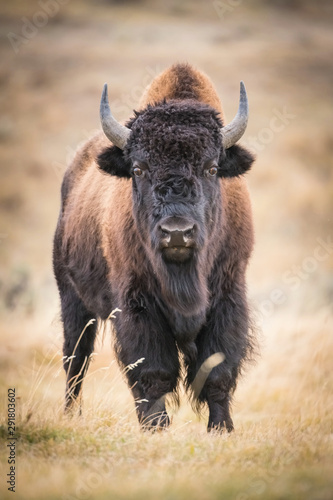 Bison bison, American bison is standing in dry grass, in typical autumn environment of Yellowstone,USA
