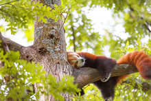 Lesser Panda Sleeping On A Tree Branch. Also Called The Red Panda (Ailurus Fulgens)lesser Panda, The Red Bear-cat, And The Red Cat-bear, Is A Mammal