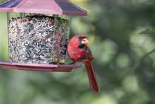 Northern Cardinal Male Sitting On Bird Feeder