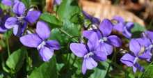 Blooming Viola Bavarica (punct...