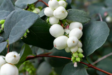 White Berries Of Symphoricarpo...
