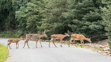 Family Of White-tailed Deer Cr...